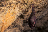 istock Close up small sleeping lesser horseshoe bat (Rhinolophus hipposideros)  hanging upside down on top of  cave 1182723845