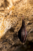 istock Close up small sleeping lesser horseshoe bat (Rhinolophus hipposideros)  hanging upside down on top of  cave 1182723846