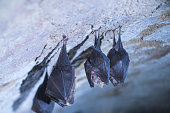 istock Close up small sleeping lesser horseshoe bats covered by wings hanging upside down on top of cold arched brick cellar and hibernate. 1218534606