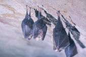 istock Close up small sleeping lesser horseshoe bats covered by wings hanging upside down on top of cold arched brick cellar and hibernate. 1218534612