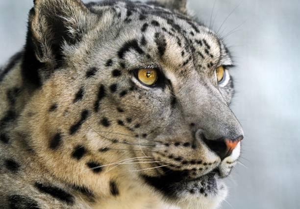 Close up snow leopard portrait picture id1160668785?b=1&k=6&m=1160668785&s=612x612&w=0&h=l3bei5p6ykg4ys uw1r0ew4sqhofcps35e8v57vodyc=