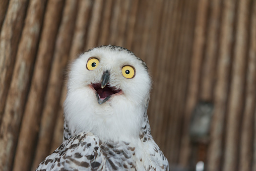 Close up snowy owl eye making shock or funny face expression with wooden pattern background.