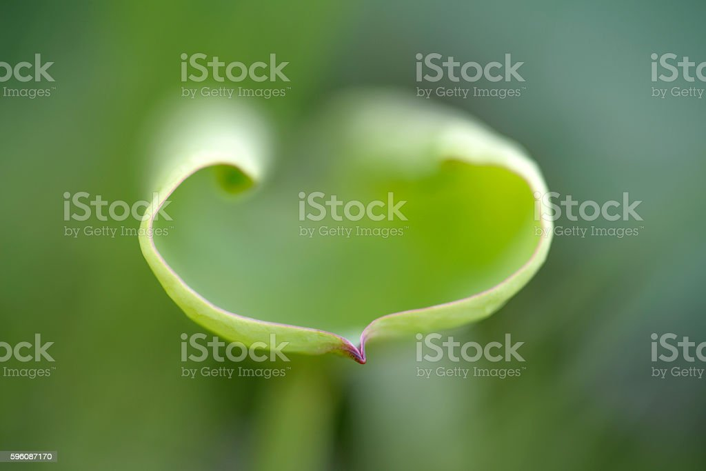 Close up soft lotus leaf abstract background royalty-free stock photo