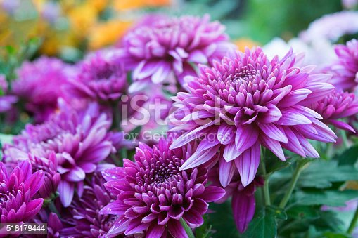 Close up Soft purple Chrysanthemum flowers nature