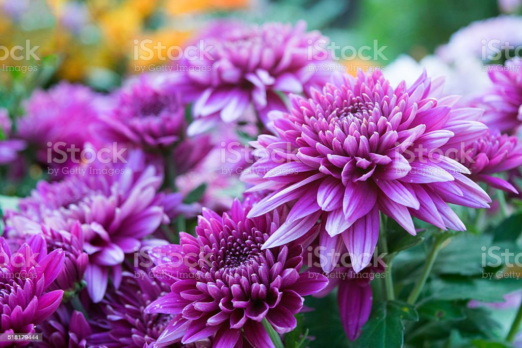 Close up Soft purple Chrysanthemum flowers nature stock photo