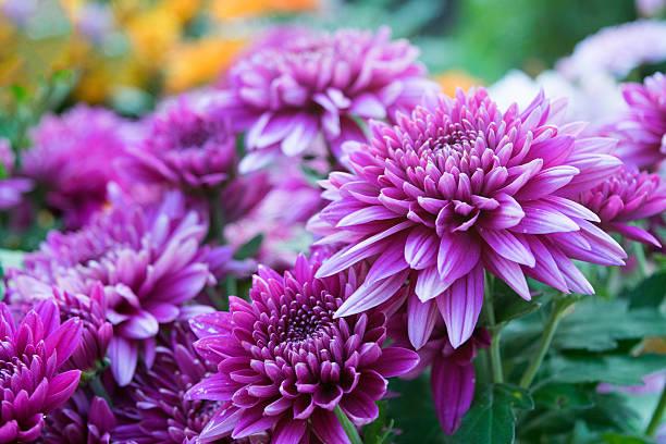 close up soft purple chrysanthemum flowers nature - chrysant stockfoto's en -beelden