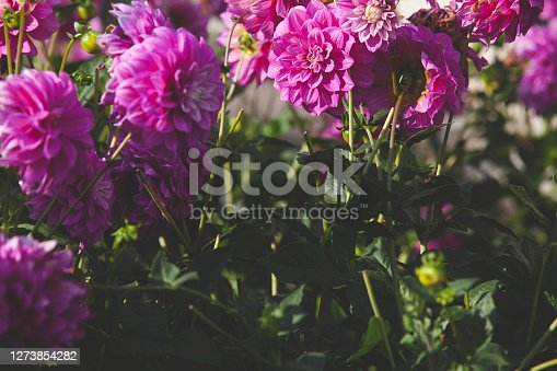 Close up Soft purple Chrysanthemum flowers