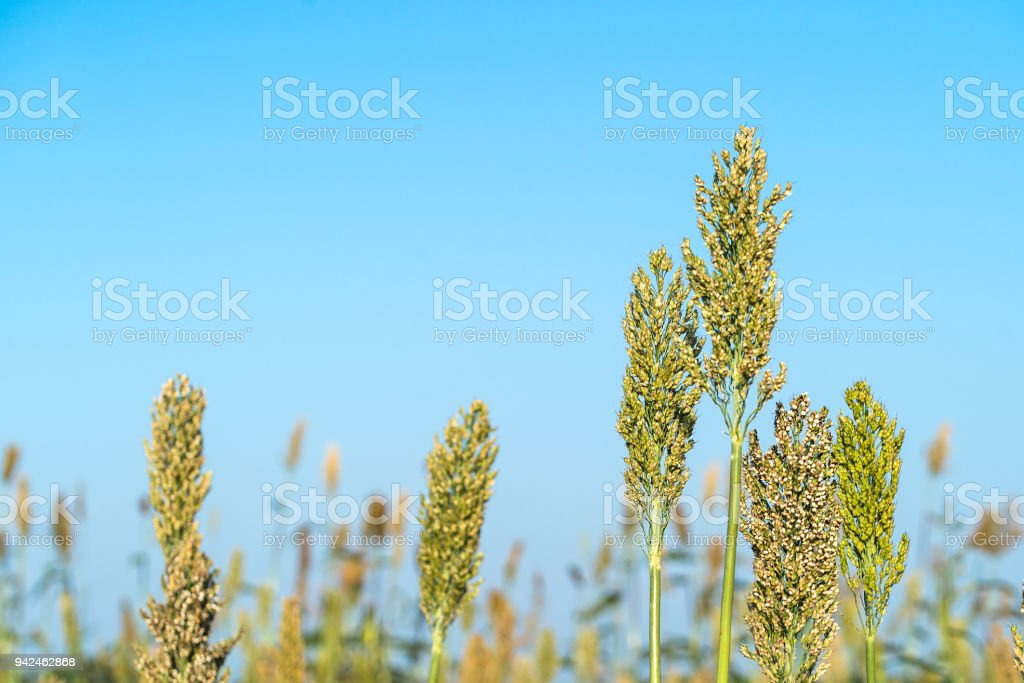 Close up Sorghum in field agent blue sky stock photo