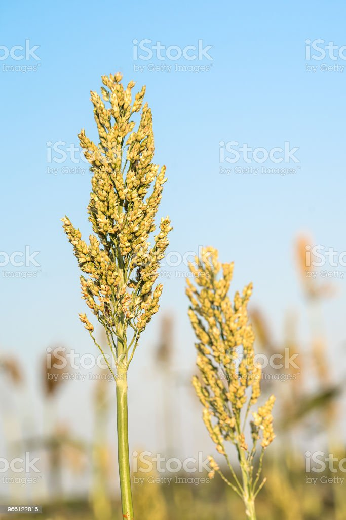 Close up Sorghum in field agent blue sky - Royalty-free Agricultural Field Stock Photo