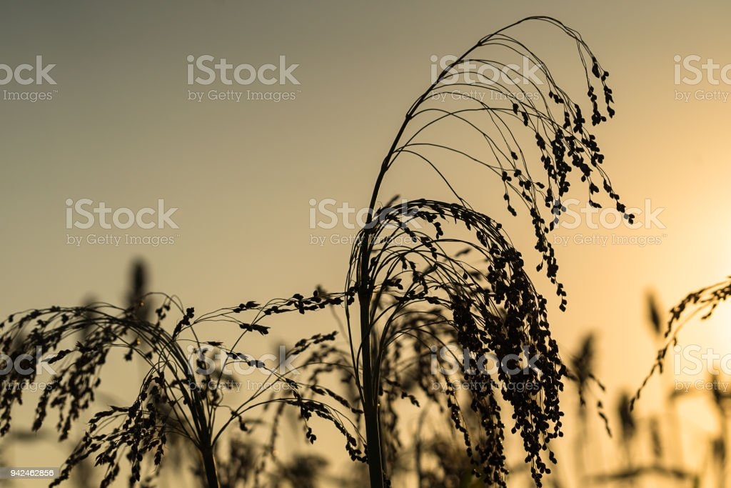 Close up Sorghum in field agent sunset stock photo