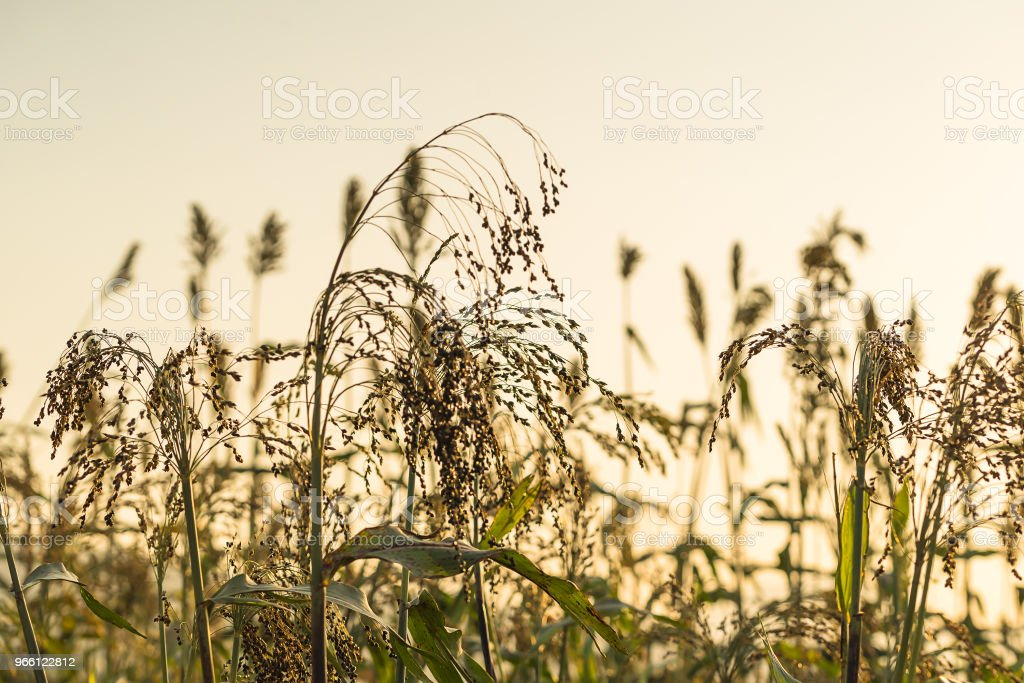 Sorghum in veld agent zonsondergang close-up - Royalty-free Azië Stockfoto