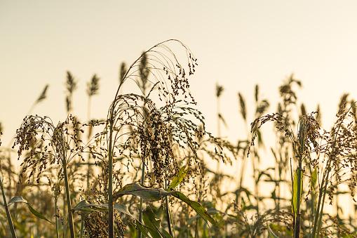 Sorghum In Veld Agent Zonsondergang Closeup Stockfoto en meer beelden van Azië