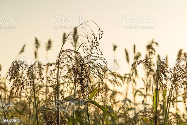Närbild Av Sorghum I Fältet Agent Sunset-foton och fler bilder på Asien