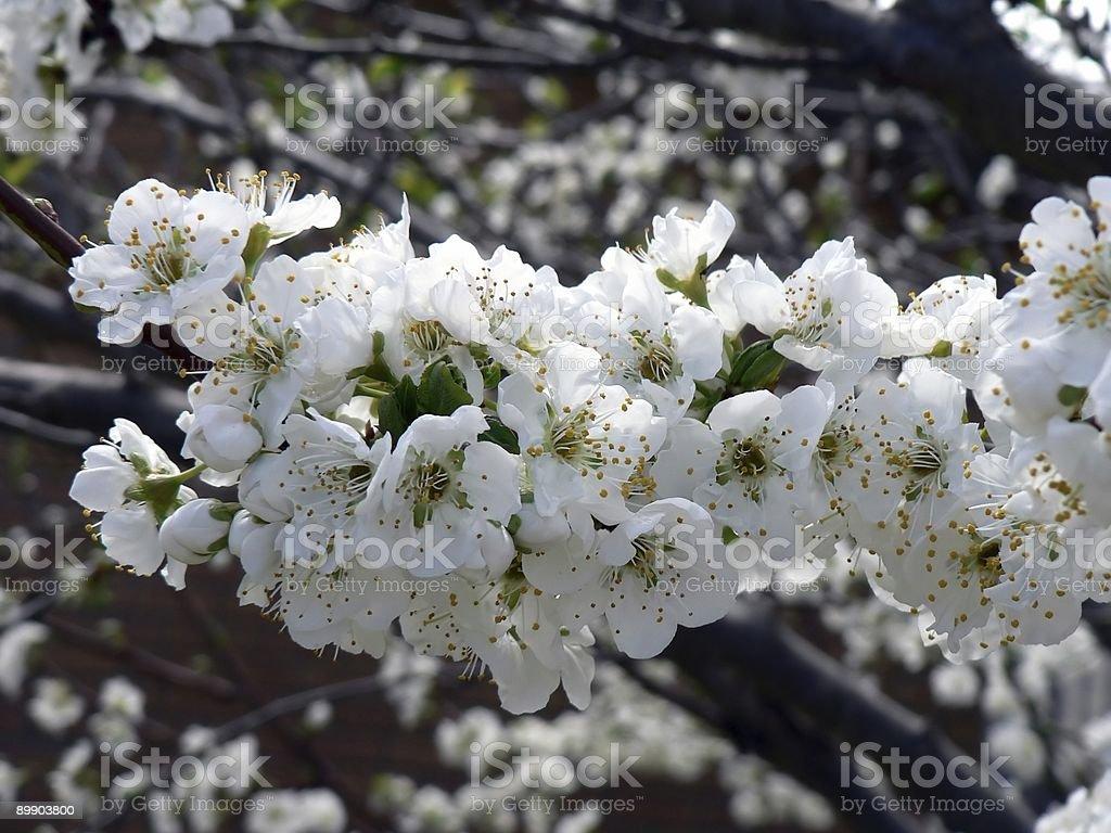 Close up Spring Blossoms stock photo
