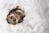 istock Close up strange animal Greater mouse-eared bat Myotis myotis hanging upside down in the hole of the cave and hibernating. Wildlife photography. 1182293468