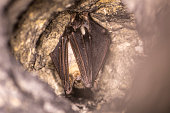 istock Close up strange animal Greater mouse-eared bat Myotis myotis hanging upside down in the hole of the cave and hibernating. 1194754838