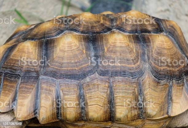 Close Up Sulcata Tortoise Stock Photo - Download Image Now