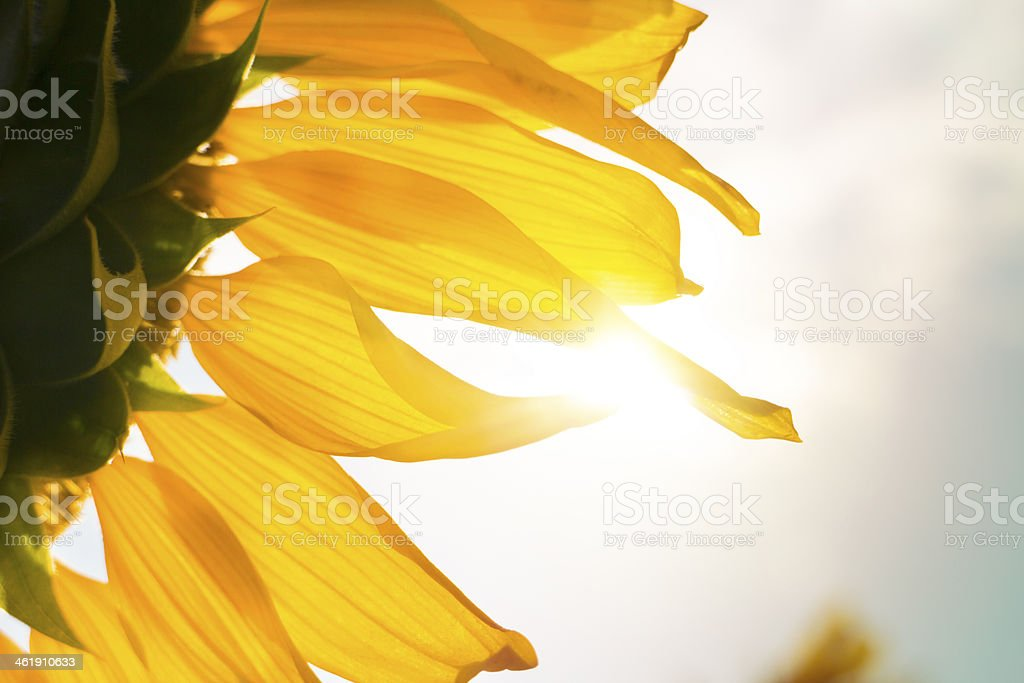 close up sunflower with sunlight royalty-free stock photo