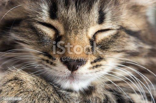 istock Close up Tabby Cat Kitten 1015534648