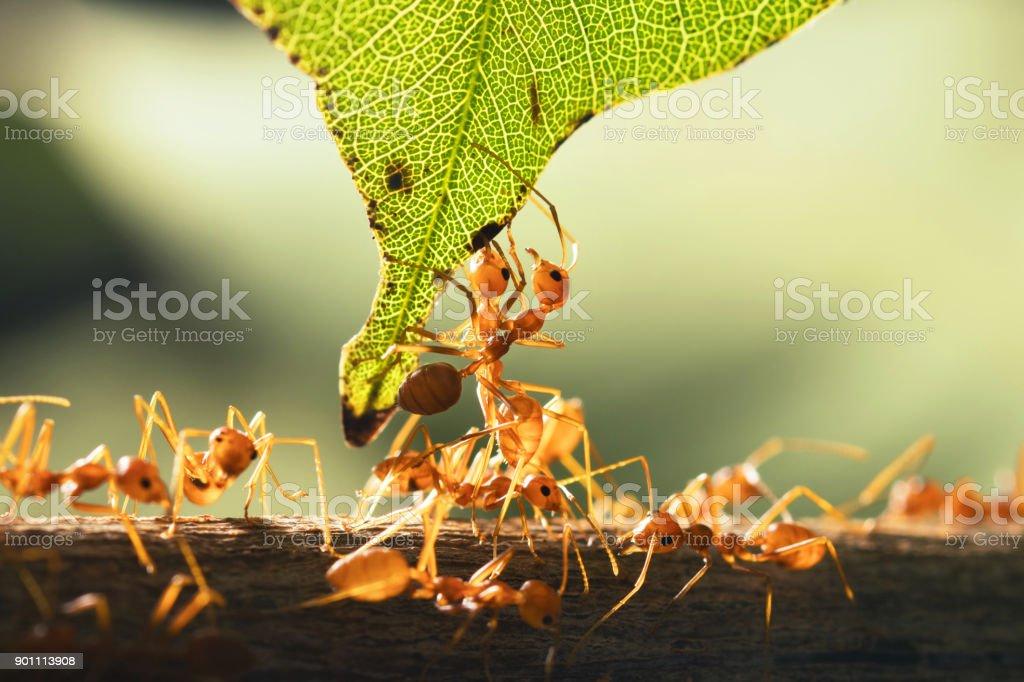 Fotografía de Trabajo En Equipo Hormiga Roja De Pie Con Hoja Verde ...