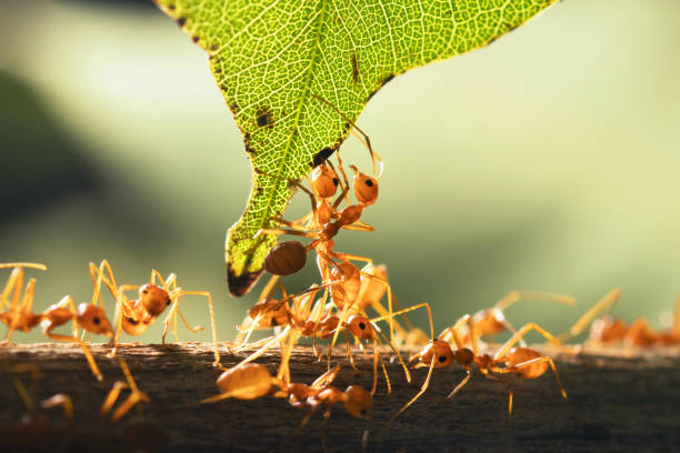 close up teamwork red ant standing with green leaf - ants working together stock photos and pictures