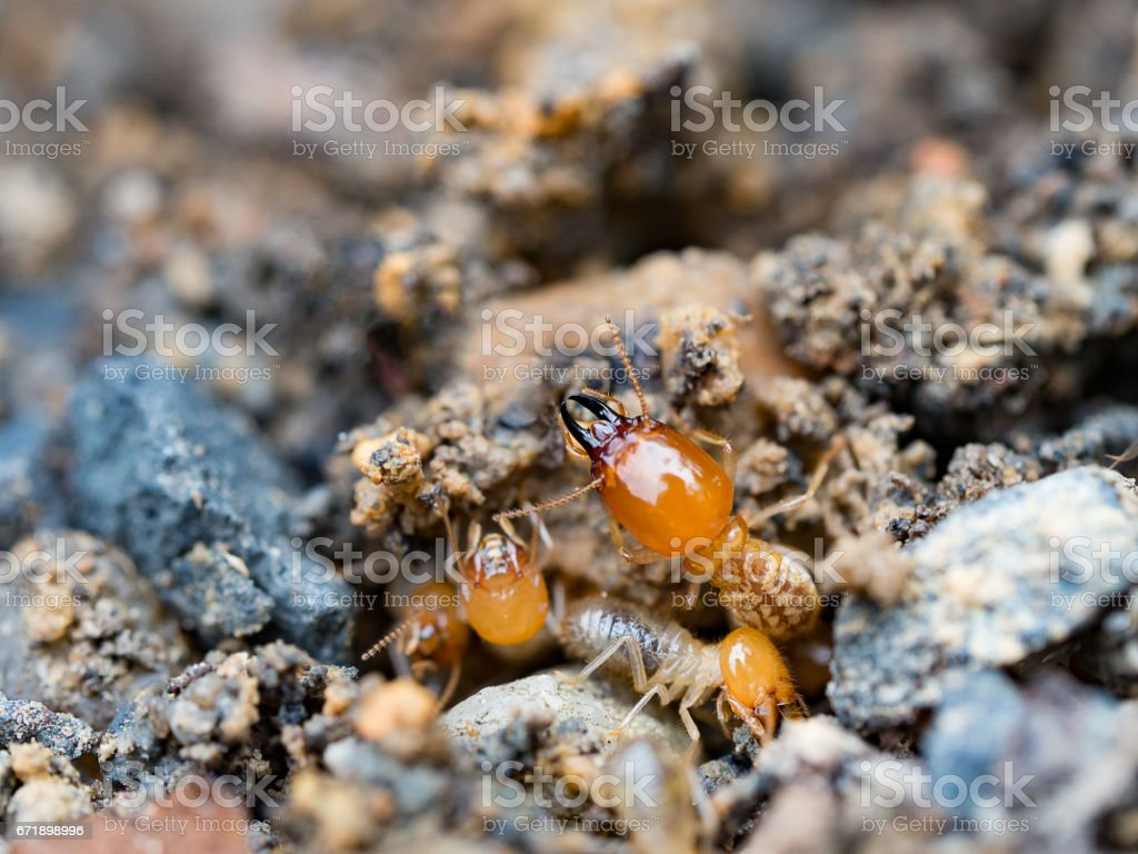 Close up termites or white ants destroyed. stock photo