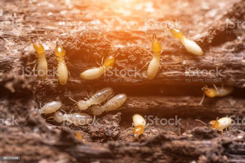 Close up termites or white ants stock photo