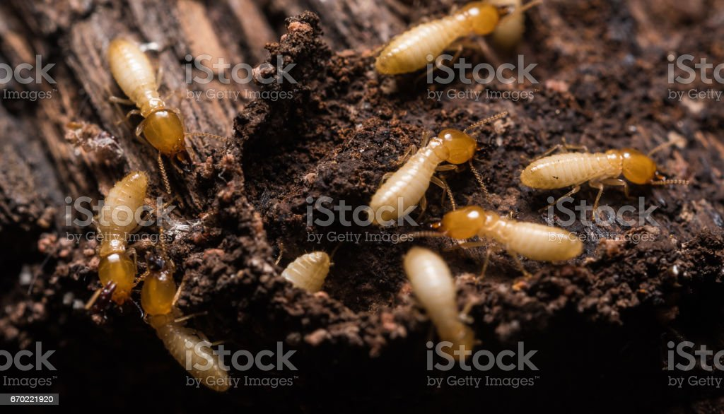 Close up termites or white ants – Foto
