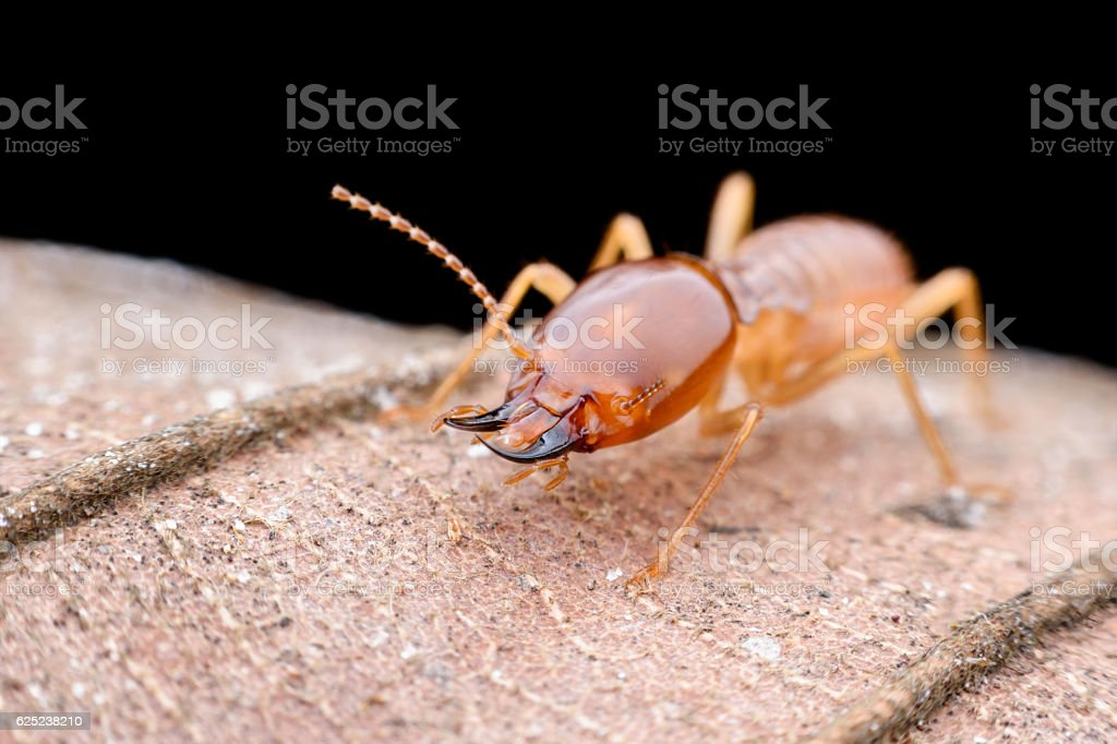 Close up Termites worker on dried leaf stock photo