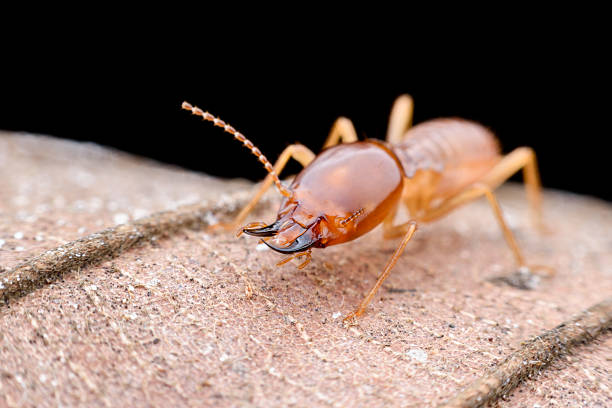 Close up Termites worker on dried leaf Close up Termites worker on dried leaf isoptera stock pictures, royalty-free photos & images