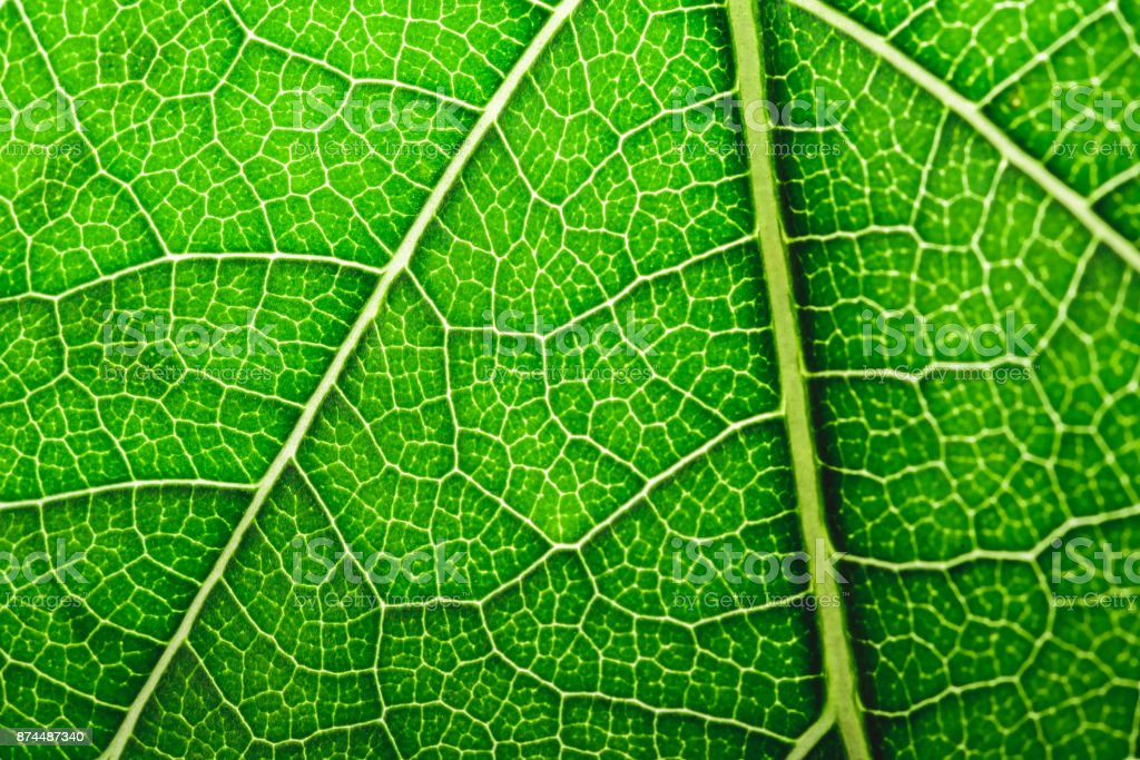 Close up texture of green leaf. stock photo