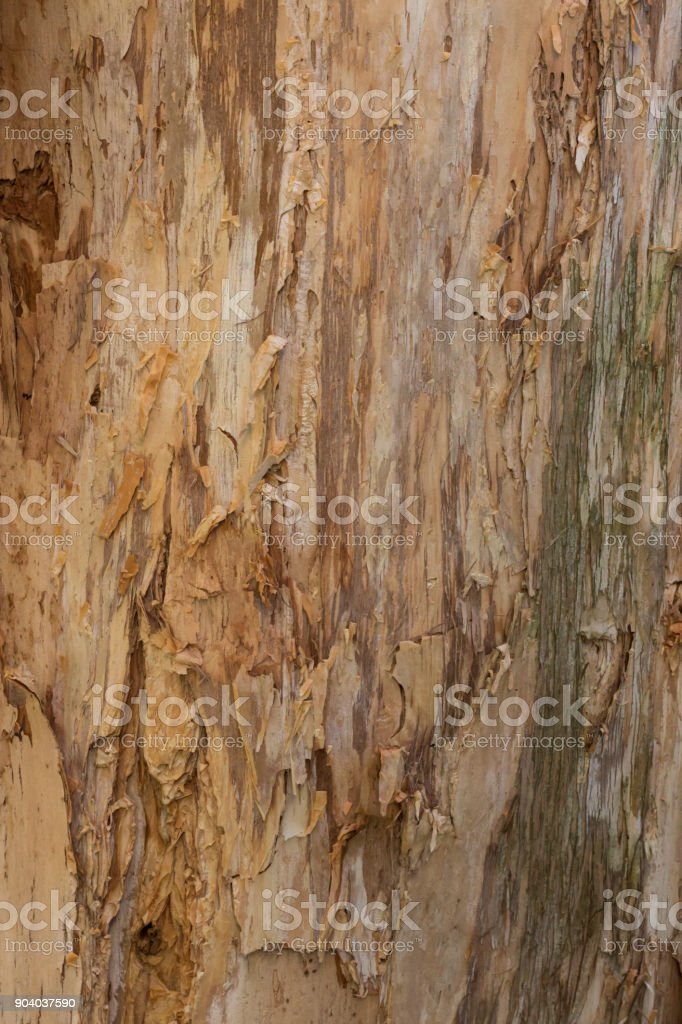 Close up textures of peeling bark on trunk of eucalyptus gum tree ideal as nature background stock photo
