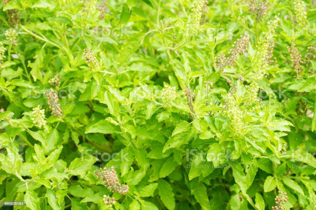 Close up thai basil, holy basil stock photo