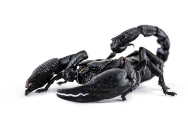 Schließen Sie den riesigen Skorpion auf weißem Hintergrund – Foto