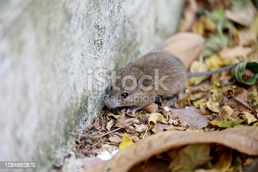 Close up the rat in dry leaf background. Animal contagious disease concept.