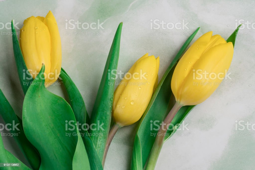 Close up three yellow tulips with water drops against mint green white background stock photo
