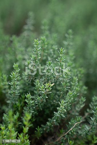 Close up thyme leaf in vertical aspect with blurred background / fresh concept /ingredient background / abstract concept