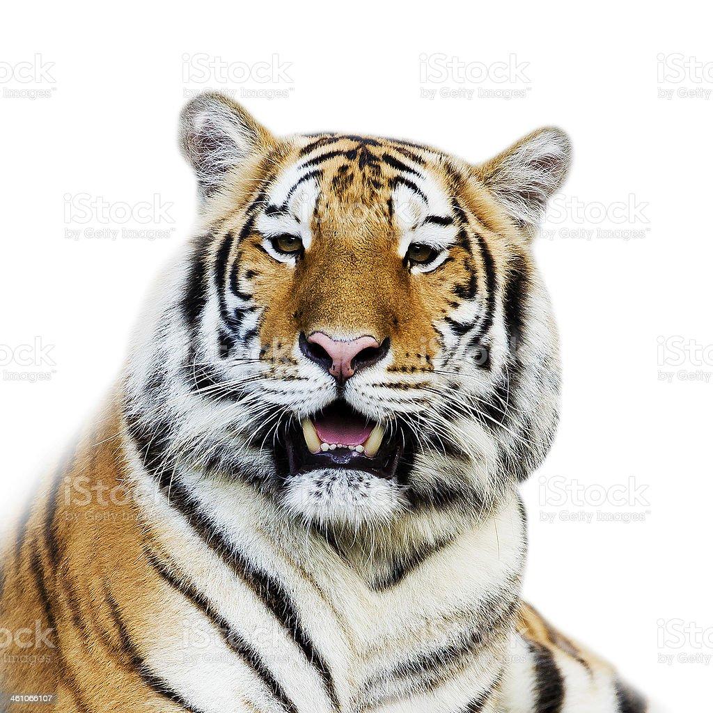 Close Up Tiger stock photo