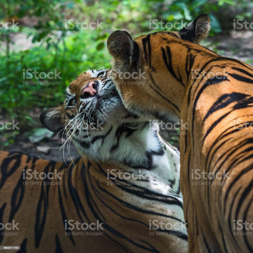 Tiger hautnah. - Lizenzfrei Aggression Stock-Foto