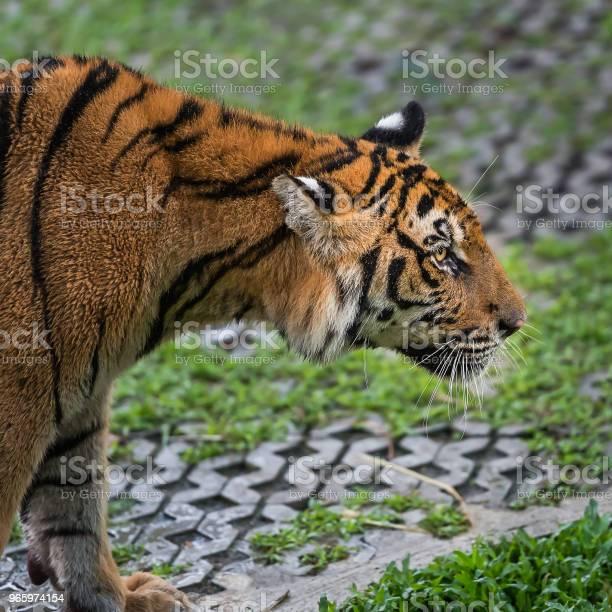 Tiger Hautnah Stockfoto und mehr Bilder von Aggression