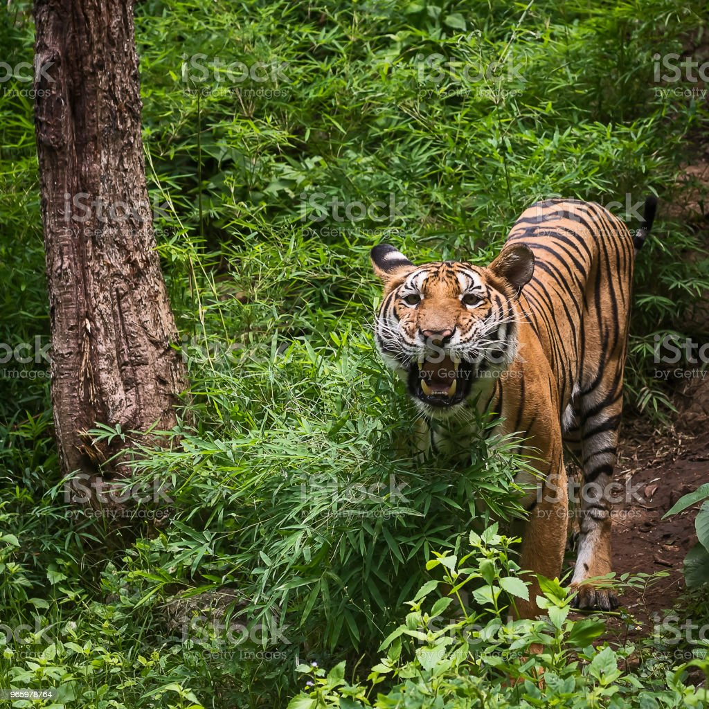 Close up tiger. - Стоковые фото Агрессия роялти-фри