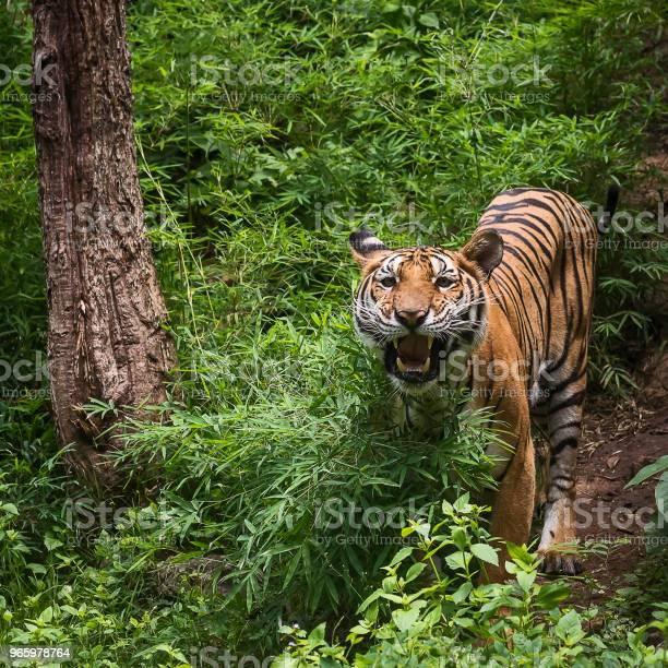 Крупным Планом Тигра — стоковые фотографии и другие картинки Агрессия