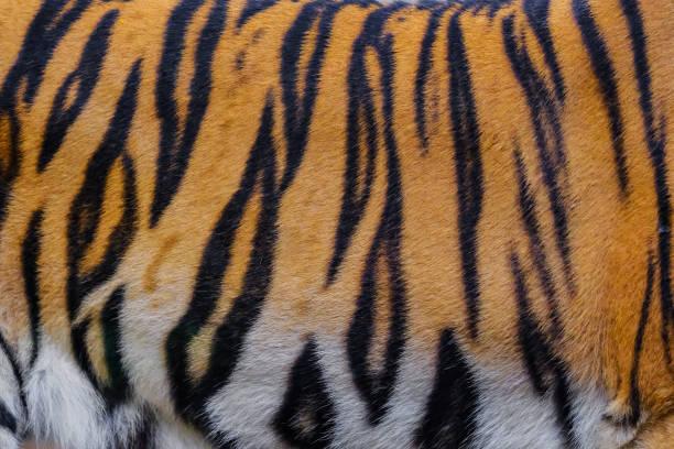 Foto de textura de la piel de tigre - foto de stock