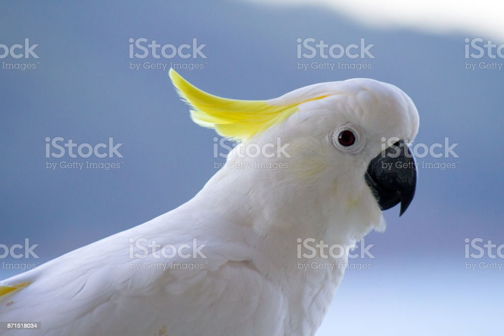 Close Up To A Cockatoo Showing White Feathers And Crest Stock Photo