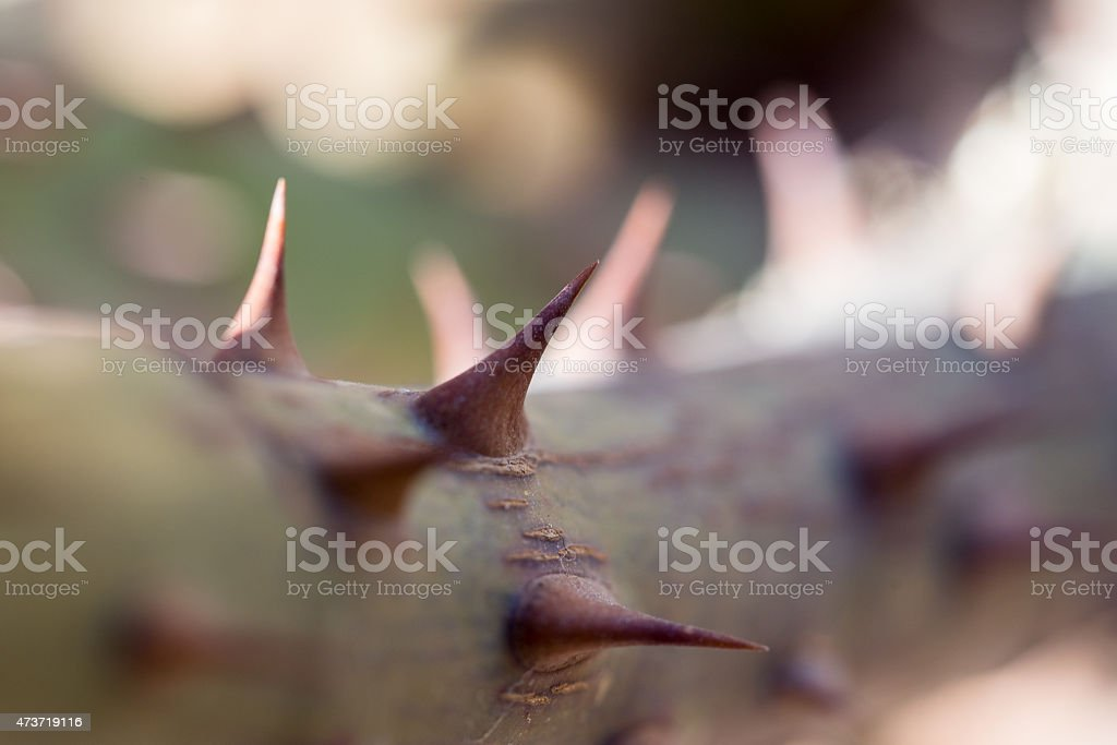 Close up to Rose Thorns stock photo