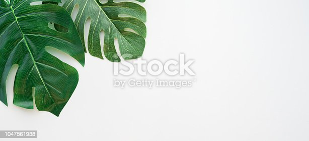 close up top view of green monstera leaves la yon white panoramic image background with empty copy space for design element , spring summer concept