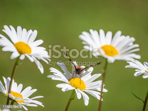 Close up shot of butterfly on daisy