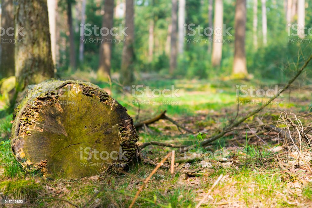 close up tree trunk in forest, nature reserve De Malpie in Valkenswaard, The Netherlands stock photo