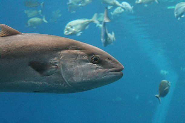 close up tuna stock photo