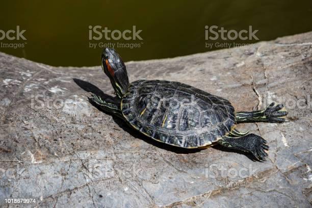 Close up turtle on rock in nature picture id1018679974?b=1&k=6&m=1018679974&s=612x612&h=c5yi 7x5e8cxb6 vxemwfjhvfmlmc3cegu6qilwy g8=